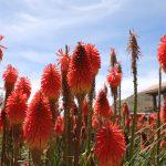 kwiaty w ogrodzie w Puno