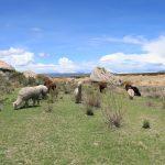 alpaki w pobliżu jeziora Titicaca