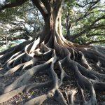 drzewo w Buenos Aires, jedno z wielu